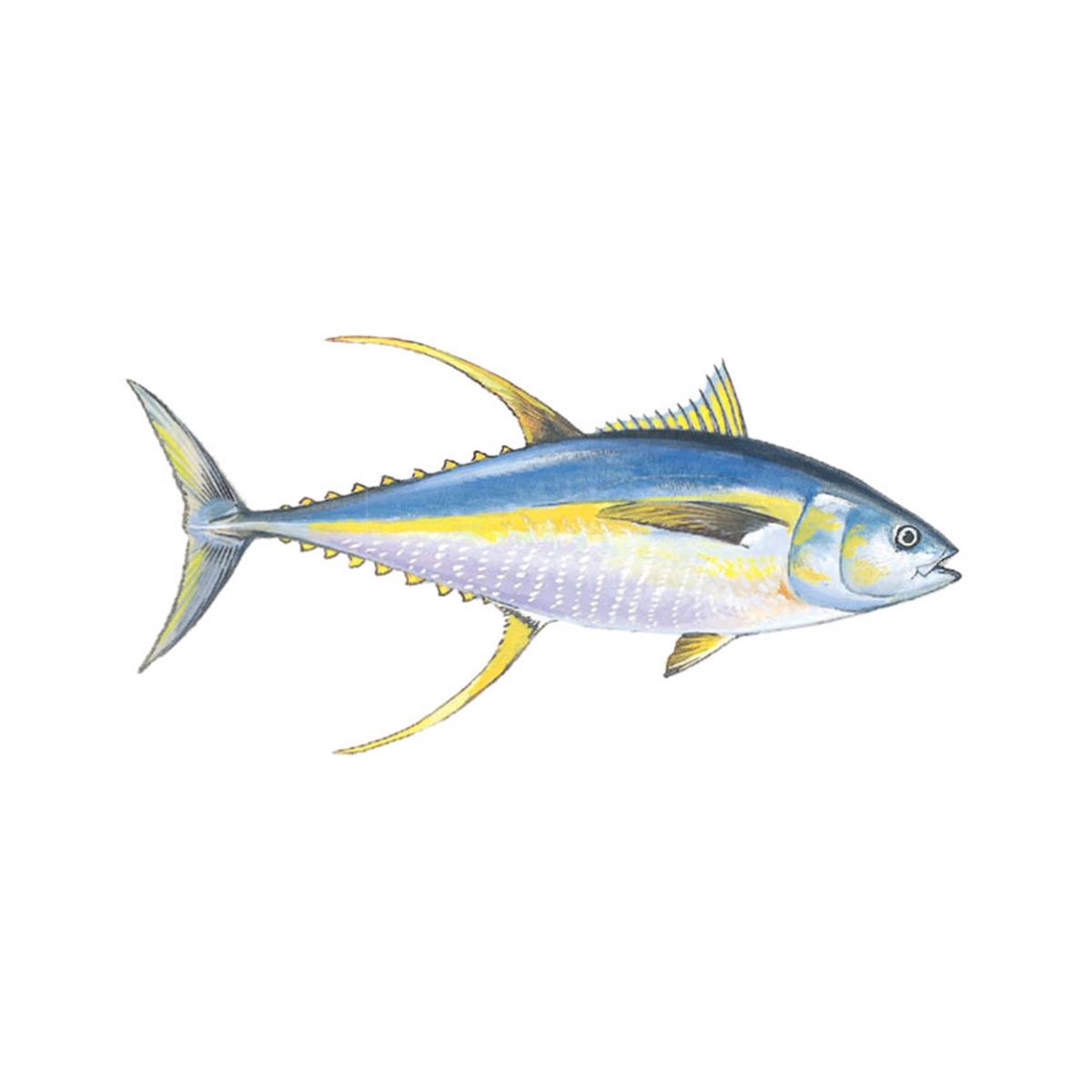 tonno-pinna-gialla-marabisal