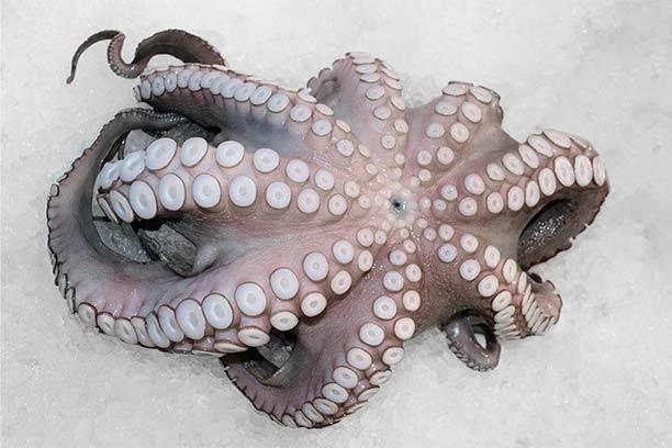 Octopus | MarAbisal