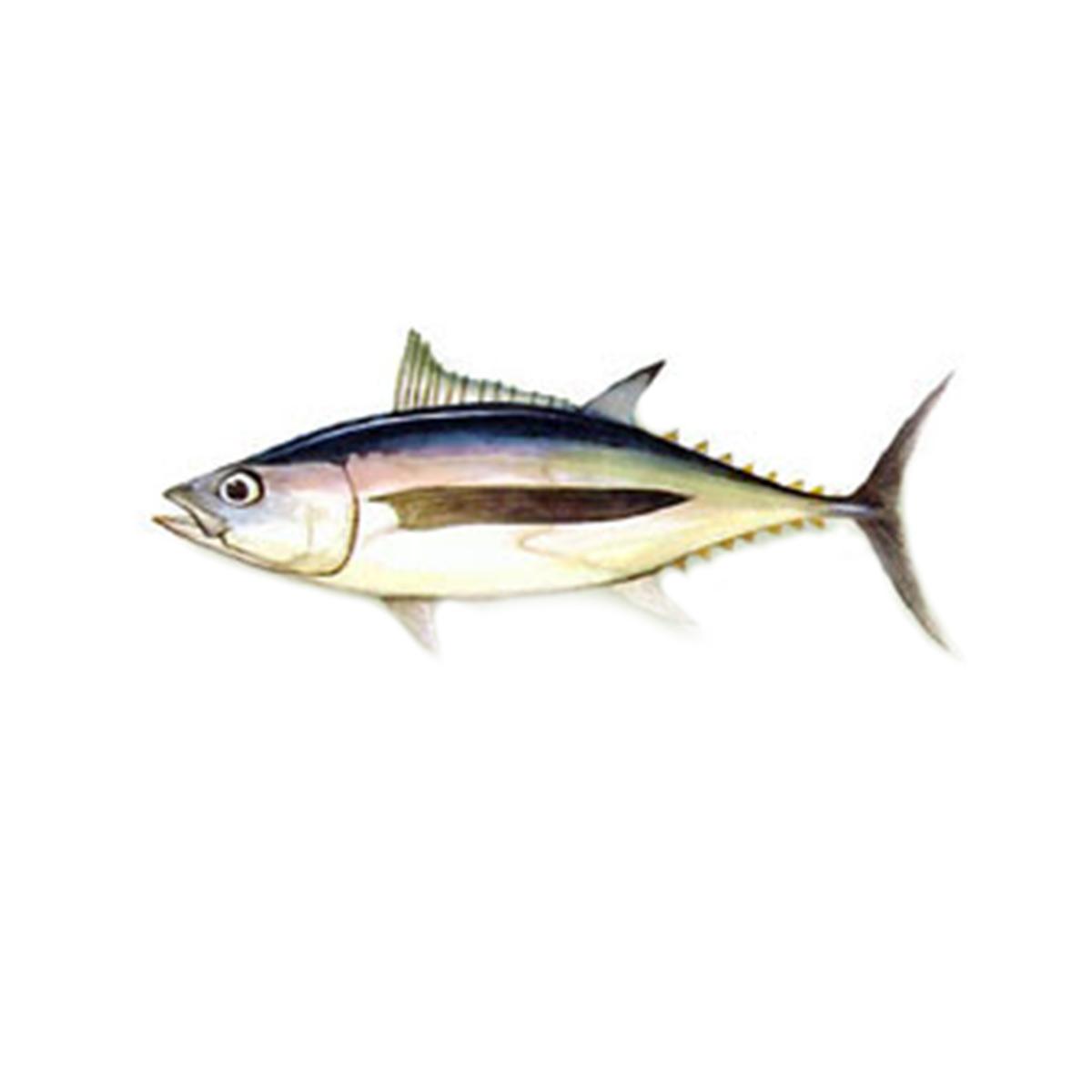 tonno-alalunga-marabisal
