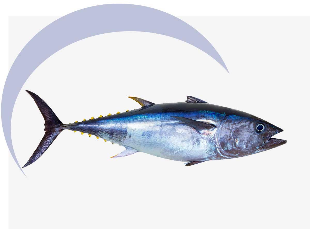 Tuna | MarAbisal