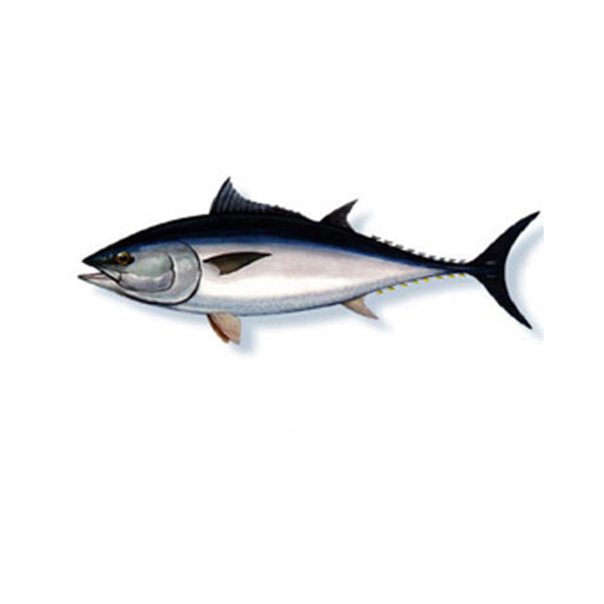 tonno-rosso-marabisal