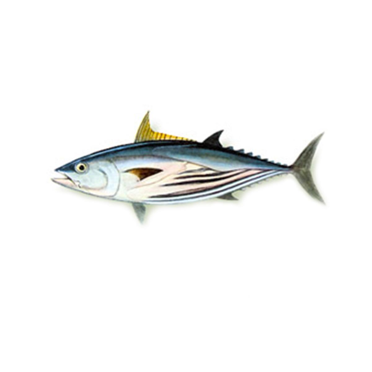 tonno-striato-marabisal