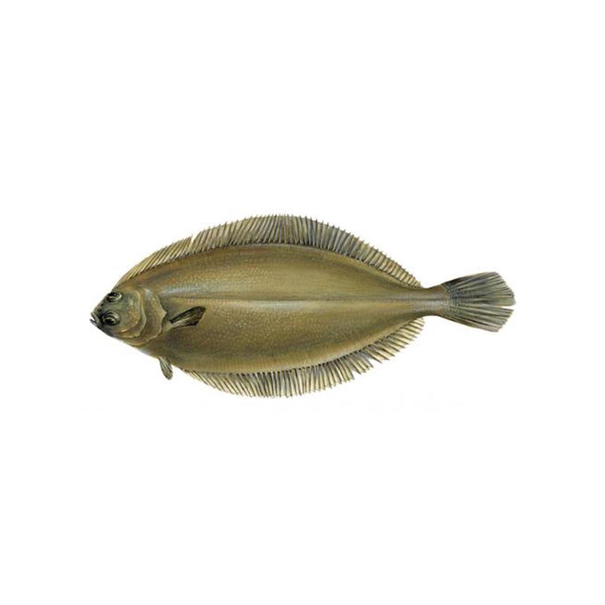 lengua-cynoglossus-senegalensis-sw