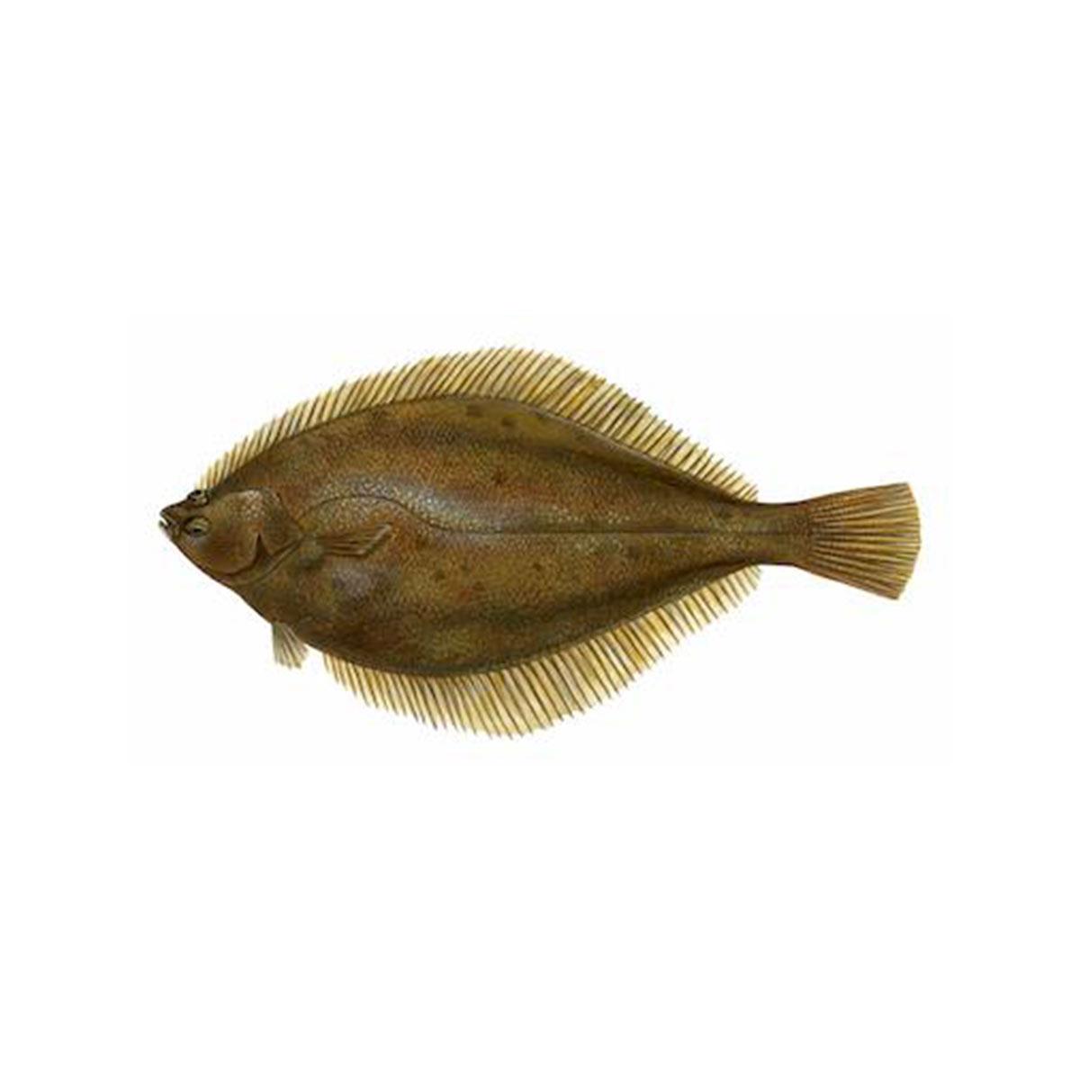 limanda-ferruginea-sw
